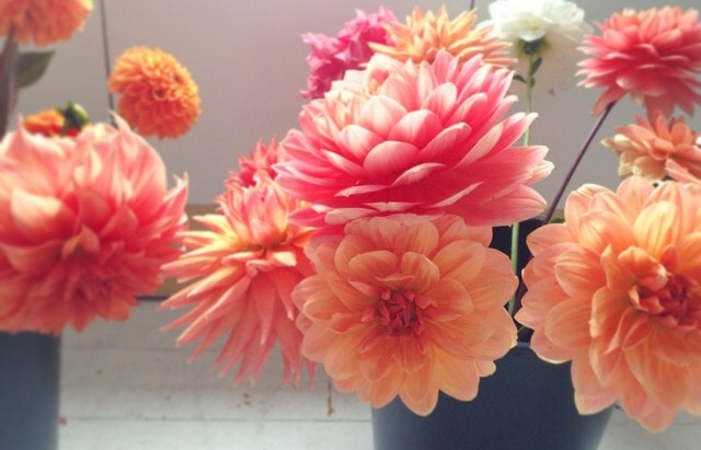 This photo of dahlias in a prep bucket from @hedgerow on Instagram is magical.